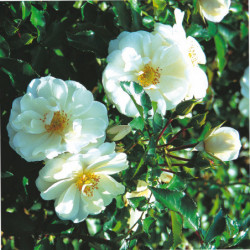 Rosa 'Noa140702' OPALIA...