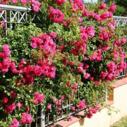 Rosa 'Noa907500' EMERA...