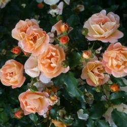 Rosa 'Noa97400a' CALIZIA®