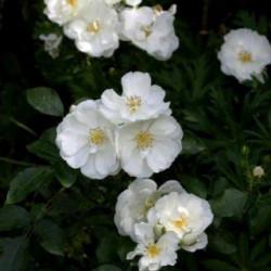 Rosa 'Noaschnee' OPALIA®