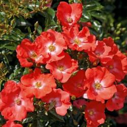 Rosa 'Noat1804' ISALIA®
