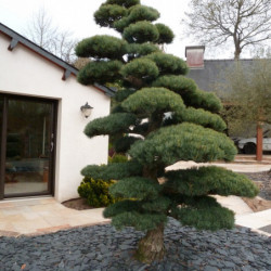 Pinus parviflora var....