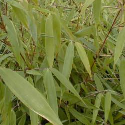 Fargesia robusta 'Pingwu'
