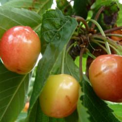 Prunus avium 'Coeur de Pigeon'