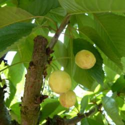 Prunus avium 'Jaune de Drogan'
