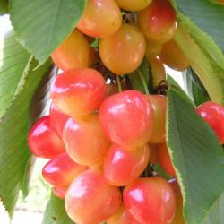 Prunus avium 'Napoléon'