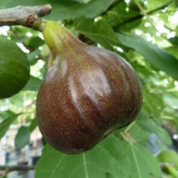 Ficus carica 'Bornholms...