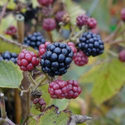 Rubus fruticosus 'Thornless...