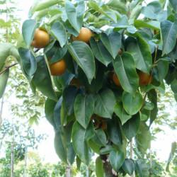Pyrus pyrifolia 'Hosui'