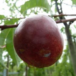 Prunus persica var....