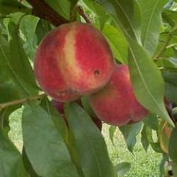 Prunus persica 'Reine des...