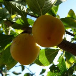 Prunus domestica var....