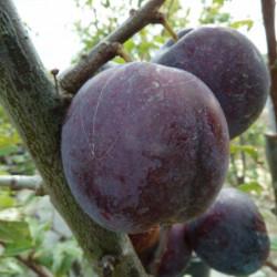 Prunus domestica 'Bleue de...