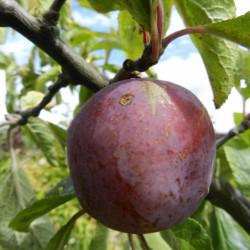 Prunus domestica 'Czar'