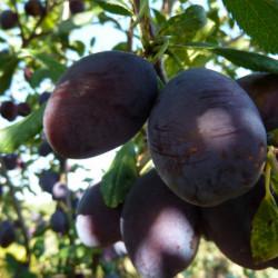 Prunus domestica 'Quetsche...