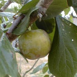 Prunus domestica 'Reine...