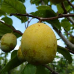 Prunus domestica 'Ste...