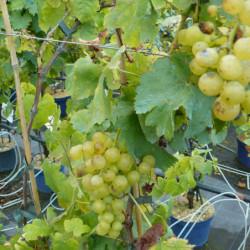Vitis vinifera 'Chasselas...