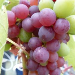 Vitis vinifera 'Muscat de...