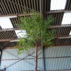 Acacia retinoides 'Lisette'