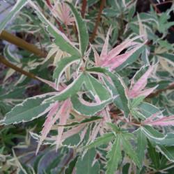 Acer palmatum...