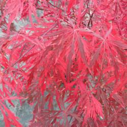 Acer palmatum 'Dissectum...