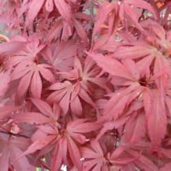 Acer palmatum 'Skeeters Broom'