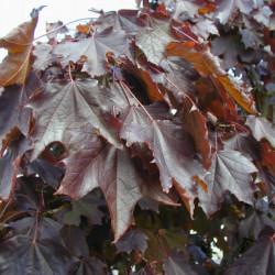 Acer platanoides 'Crimson...