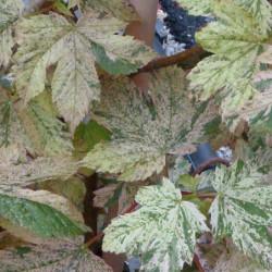 Acer pseudoplatanus 'Eskimo...