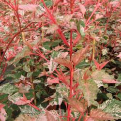Acer × conspicuum 'Red...