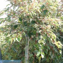 Acer × conspicuum 'Silver...