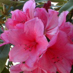 Rhododendron 'Anne Rose...