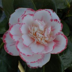 Camellia japonica 'Margaret...