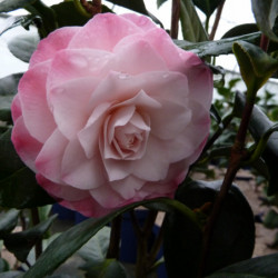 Camellia japonica 'Nuccios...
