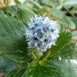 Ceanothus arboreus...