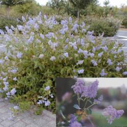 Ceanothus × delilianus...