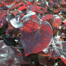 Cercis canadensis 'Forest...
