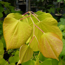 Cercis canadensis 'Hearts...