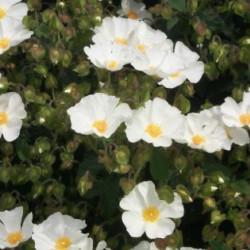 Cistus × corbariensis