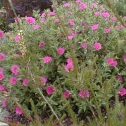 Cistus × pulverulentus...