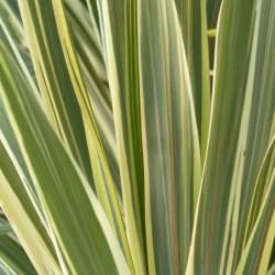 Cordyline australis 'Torbay...