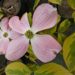 Cornus florida 'Cherokee...