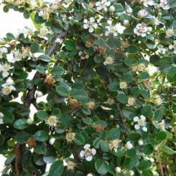 Cotoneaster procumbens...