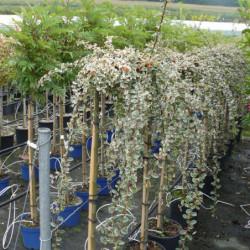 Cotoneaster × suecicus...