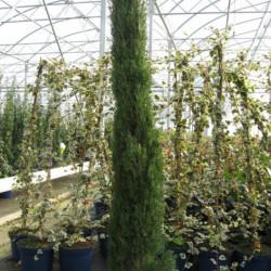 Cupressus sempervirens 'Totem'