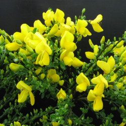 Cytisus 'Golden Tears'