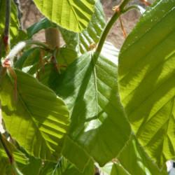 Fagus orientalis 'Iskander'
