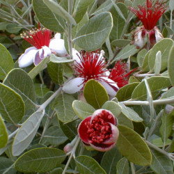 Acca sellowinana 'Mammoth'