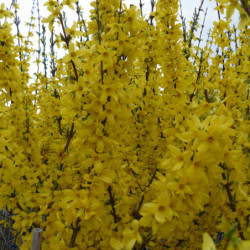 Forsythia × intermedia...