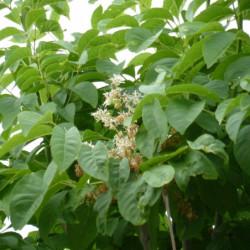 Fraxinus ornus 'Meczek'